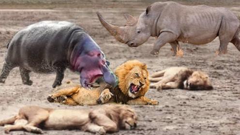 饥饿的狮子围攻犀牛,偷袭不成反被扑,最后一幕是认真的吗?