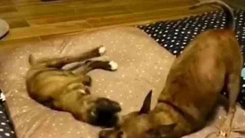 两只狗都没有前腿 9岁的狗一直照顾1岁的狗!