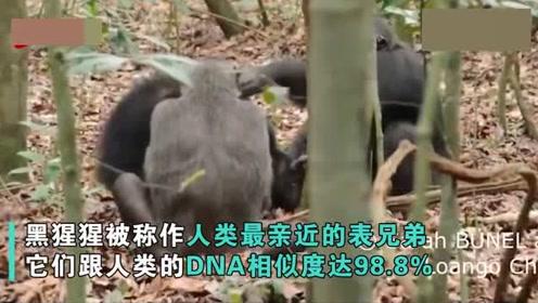 人类首次拍到!黑猩猩手撕陆龟吃肉,其DNA跟人类最相似