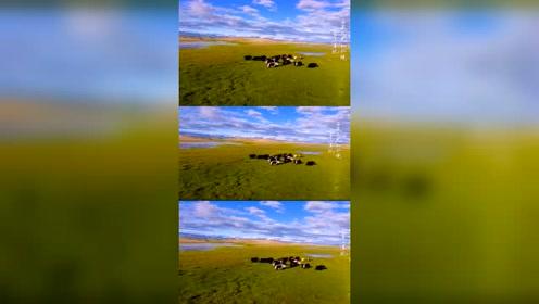 原来风吹草地现牛羊,就是这样的场面
