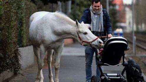 德国最自由的骏马,随意在马路上散步,当地居民:很习惯