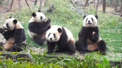 国宝熊猫呆萌可爱?成都熊猫基地发生的一幕,刷新对熊猫的认知!