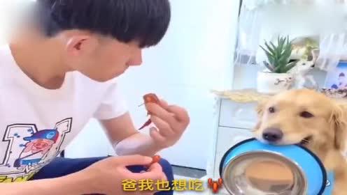 抠门主人不给狗狗吃龙虾,金毛:你有你的龙虾,我有我的烤鸭!逗