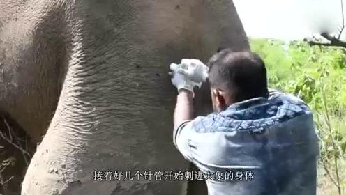 大象腿上肿起巨大的球,被人类救助后,流下感激的眼泪!
