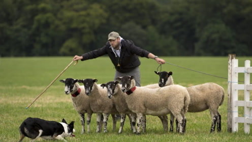 小小牧羊犬就担当牧羊的重任,可千万别小看它的执行力