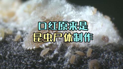 亲吻虫子尸体?我们经常用的口红原来是虫子尸体做的?