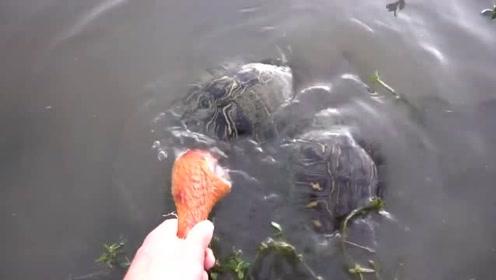 小伙把一个烧鸡腿放到池塘边上,引来三只大乌龟