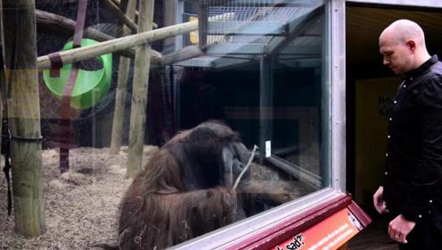 魔术师用扑克表演魔术,扑克穿透了玻璃,大猩猩会怎样呢?
