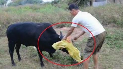 为什么屠夫杀牛之前,都会用布蒙住牛的眼睛?说出来让人心酸!