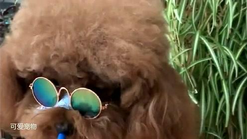 泰迪戴上墨镜,秒变高冷女强狗,主人主动送上一个标志性的东西。