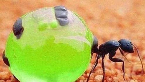 """世界上最可怜的蚂蚁,出生不久就变成""""储物罐"""",还被人用来酿酒"""