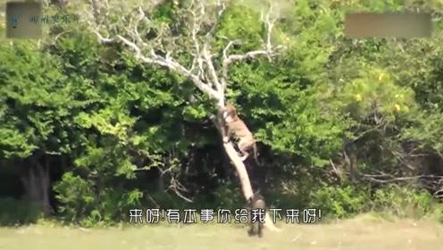 豹子捕猎野猪,反而被野猪追的躲到了树上,吓得不敢下来