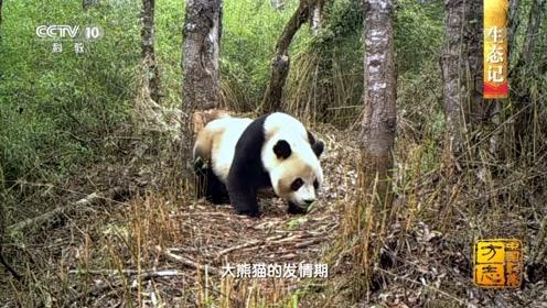 中国影像方志 野生大熊猫最多的保护区不在四川,在这里!