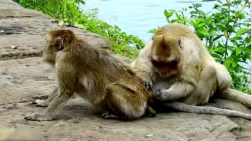 实拍猴哥帮小伙伴捉虱子,捉着捉着就开始不着调了