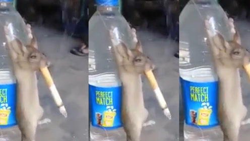 老鼠抽烟爽上天,30分钟后,老鼠啥状态