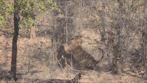老虎埋伏黑熊,二话不说直接打架,结局打脸