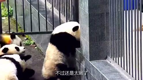 """熊猫宝宝组团""""越狱"""",成功逃出高兴没三秒,就被奶爸无情喊卡了"""