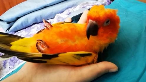 鹦鹉也是很会享受的嘛,为了舒服还想搭床,不过好像没什么毅力嘛