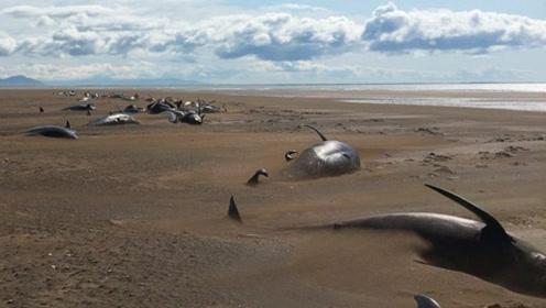 心碎! 冰岛海滩惊现50具鲸鱼尸体, 乘客直升机上拍下凄惨一幕