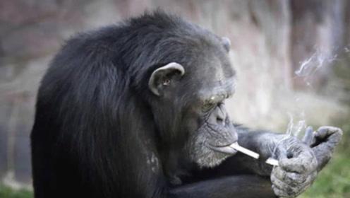 猩猩模仿人抽烟成瘾,1天1包,不给就揍
