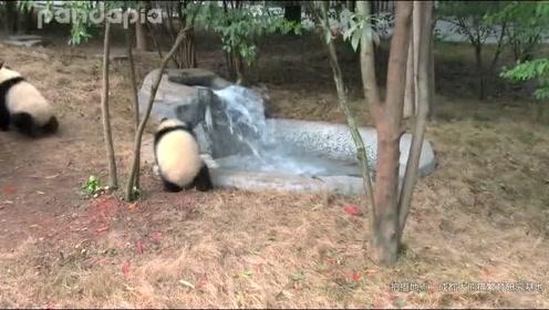 这怕是我见过最怂的大熊猫了!
