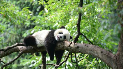 熊猫濒危或者是自己作的吧!就算人工饲养也抵不过它自我毁灭呀