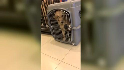 进去笼子还要把门关起来,这狗是成了精吧!