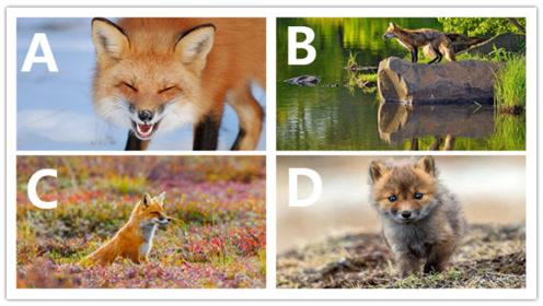 心理测试:你觉得哪只狐狸最狡猾?测你有没有心机