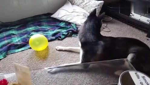 二哈,第一次见气球,有点懵!二哈:这啥玩意啊!
