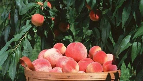关于桃子的秘密,这些诀窍,帮你掌握桃子的好吃程度!