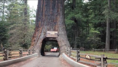一棵千年大树因修路,决定将其中间凿成隧道,如今人们后悔不已!