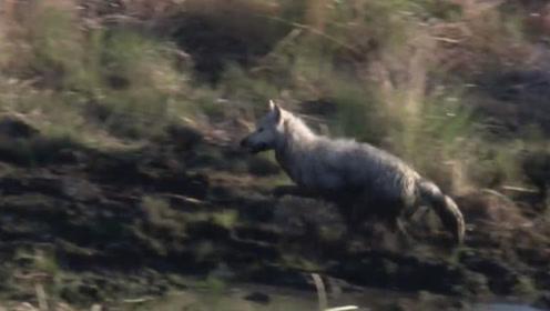 狼捕猎了一头小牛,牛妈妈发现后急忙回头寻找,反应令人心酸