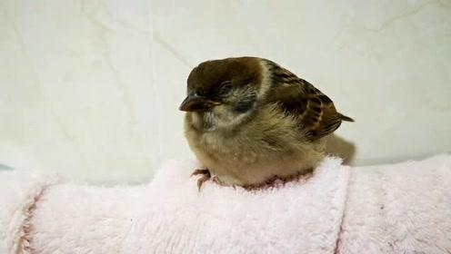 饿坏的小麻雀终于吃饱,麻雀的吃相真不敢恭维,难道鸟类都这样?