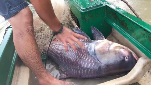 撒网突然水中巨物翻腾,拉出一条罕见的大鱼,简直要成精了