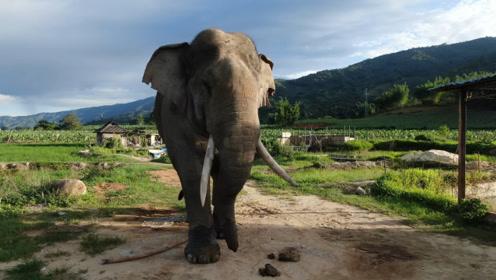 云南野象村:从死伤20多人到为它们建立栖息地