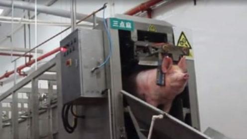 高压电杀猪法多恐怖?3秒杀死一头猪,二师兄毫无挣扎走的很安详