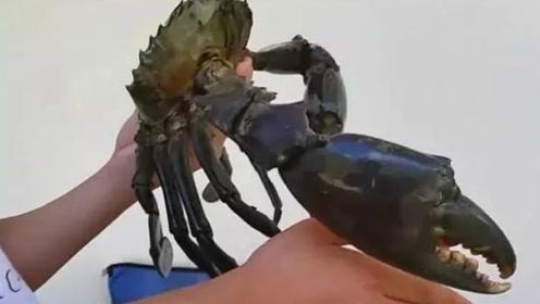 世界上最大的5种螃蟹,帝王蟹只能算小弟!