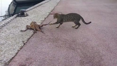 猫咪遇见一只章鱼,咬了一口后,搞笑的画面出现了