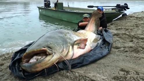 老外钓到200斤的凶猛大鲶鱼,像拉头牛一样,全程太刺激了!