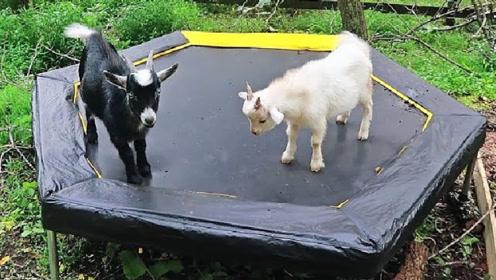 """两只山羊在蹦床上""""打架"""",结果谁胜谁负,场面太搞笑了"""