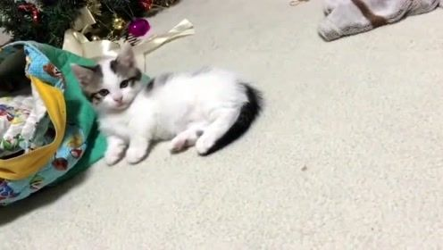 一起来看看奶凶奶凶的小奶猫,屁颠屁颠的走路太搞笑了