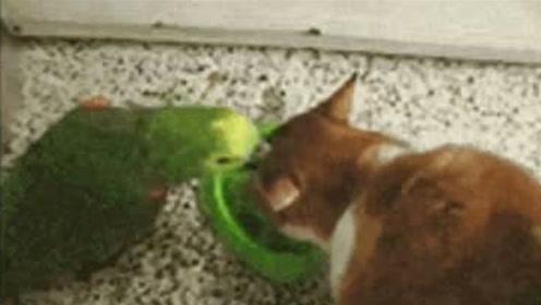 猫咪和鹦鹉之争,哈哈哈哈鹦鹉不愧是鸟界二哈