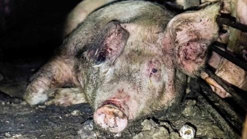 """火腿肠是""""坏猪肉""""制作的?镜头拍下生产过程,看完心情复杂"""