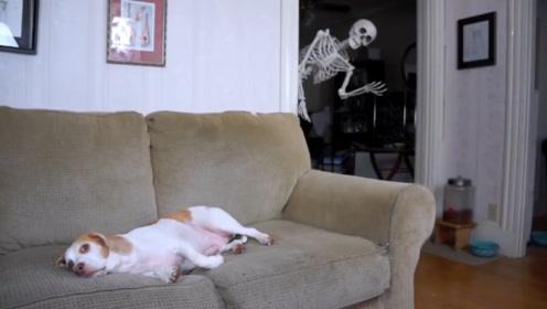 狗狗看着恐怖片,一具骷髅突然出现在身后,接下来请憋住别笑
