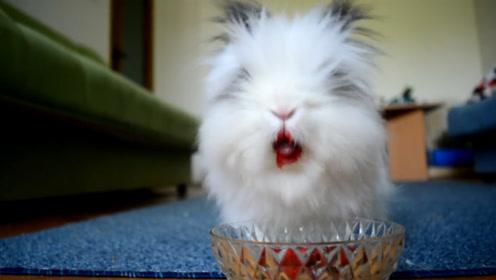兔子吃草莓,不料秒变烈焰红唇,画面太美