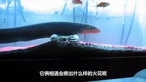在饿了10天的食人鱼缸里放进一条电鳗 场面让人震惊!