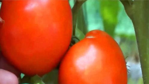 西红柿不能和它们一起吃,毒性相当于砒霜,很多人还一直吃
