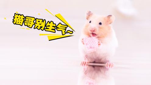 """仓鼠与猫共处一室,午休后饼干不见了!猫咪:感觉又要""""背锅""""了"""