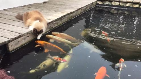 锦鲤看到猫咪极其开心,纷纷大胆得往前凑,下秒憋住别笑