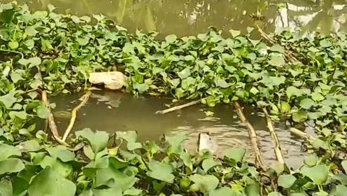 河边水草中用蚯蚓做鱼饵撒下钓钩,钓钩拉动就收钓收获一条肥鱼
